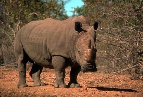 Nosorozec czarny