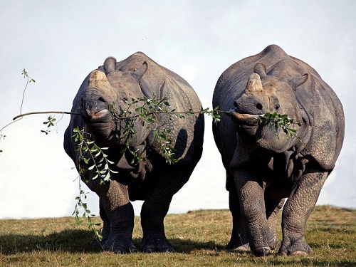Indian rhinos sharing their lunch - Cerza - France