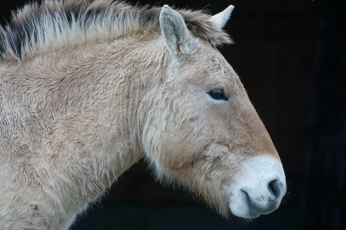 koń Przewalskiego